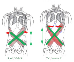 Topological effects of lengthening the torso